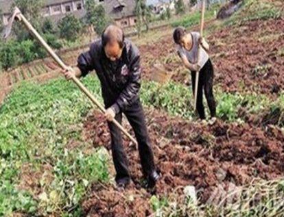农村老人在种菜时,无意间挖出大量白色小石头,带回家后高价售出