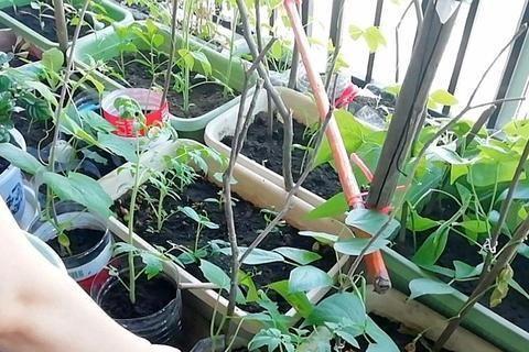 出租房的阳台变菜园,小白菜四季豆摘了一菜篮,满满都是成就感