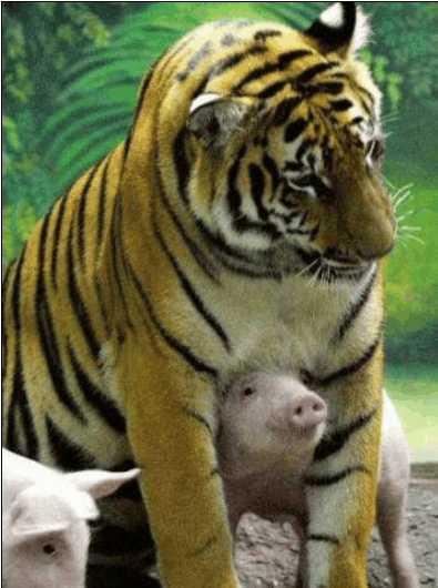 虎妈妈难产导致丧子, 幸亏饲养员想了这样的一个办法
