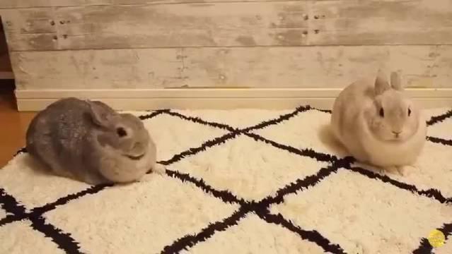 伸伸懒腰,打打哈欠,拉拉筋。猛男必看,兔子之伸缩卖萌大法
