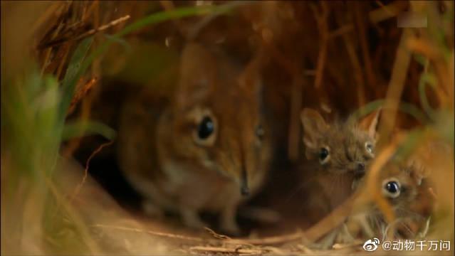 最小的哺乳动物,长相酷似老鼠却有一条长长的鼻子,有专属通道……