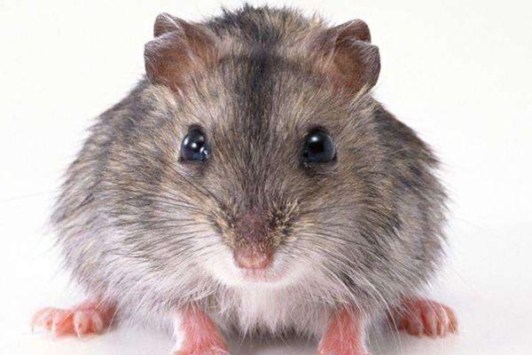 生肖鼠:一辈子爱情、事业是好是坏?尤其是72年的,老了依靠谁?