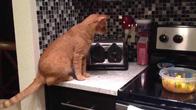 喵星人好奇的看着烤面包机,下一刻被弹飞了