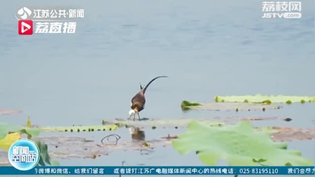 扬州4胞胎水凤凰安家扬州北湖湿地公园