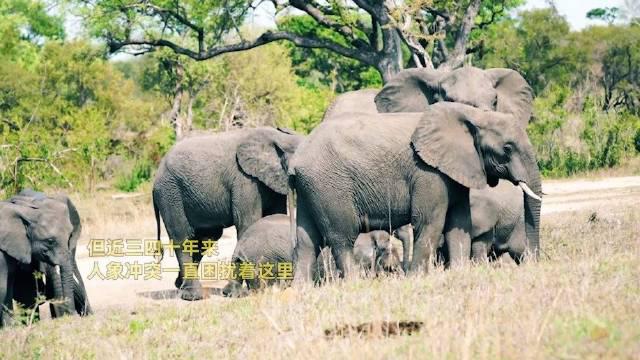 你知道吗,看起来温顺可爱的亚洲象,也有着另外一面