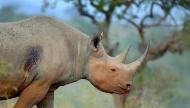 犀牛也是一头奶牛,他能用来犁地吗?摄像机录下了这一罕见的场面