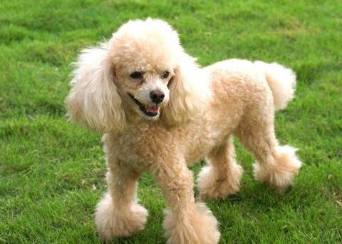 可爱又美丽的贵宾犬,关于它的冷知识,你知道多少呢?