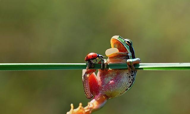 被吃了又怎样?这种甲虫可以无视青蛙的消化系统,从排便口逃脱