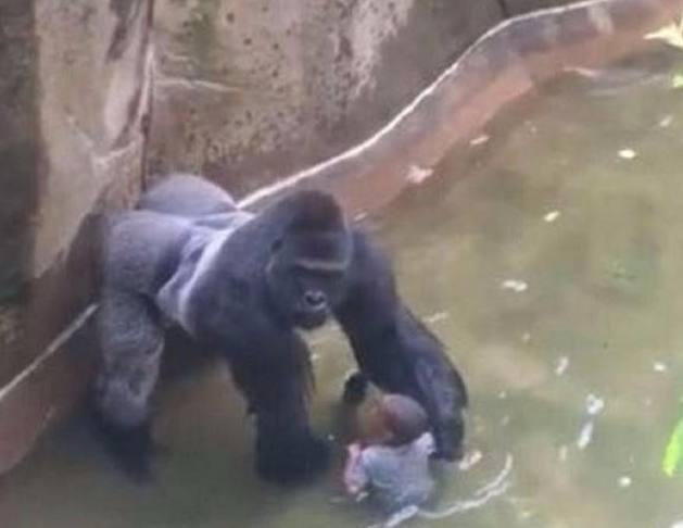 5岁男孩在动物园不慎掉进野兽笼,大猩猩做出的举动让观众惊讶