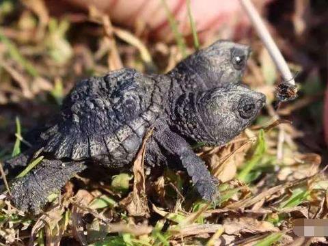 老妇人在后院打扫卫生,竟然发现罕见双头小乌龟,