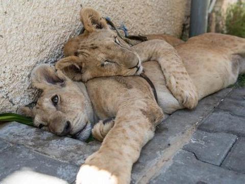 野生小狮子竟被出售当成宠物戏玩,不适当的饲养让它们备受痛苦
