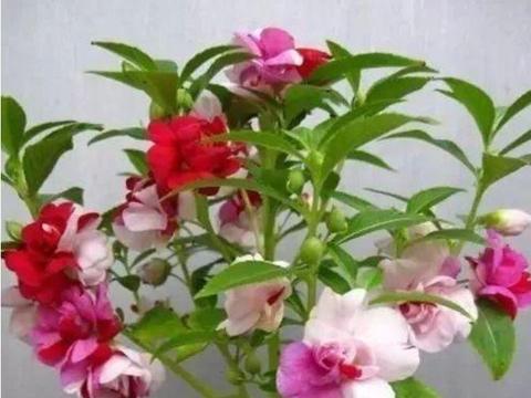 四种花常年开花易爆盆,被称为花卉界的劳模,适合阳台盆栽