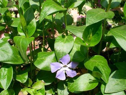 花卉植物长春蔓开花吗?