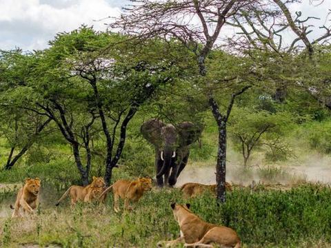 身为百兽之王的狮子,居然被它们吓的躲到树上