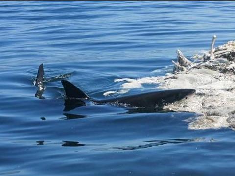 游客举报海面出现污染物,专家却称这是动物们的美食