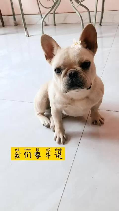 温江范儿的斗牛犬四天前在国色天香附近走失……