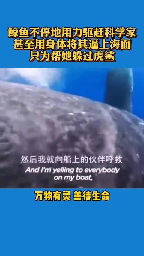 鲸鱼鲨口救人,一路用鱼鳍将科学家顶出海面。万物有灵……