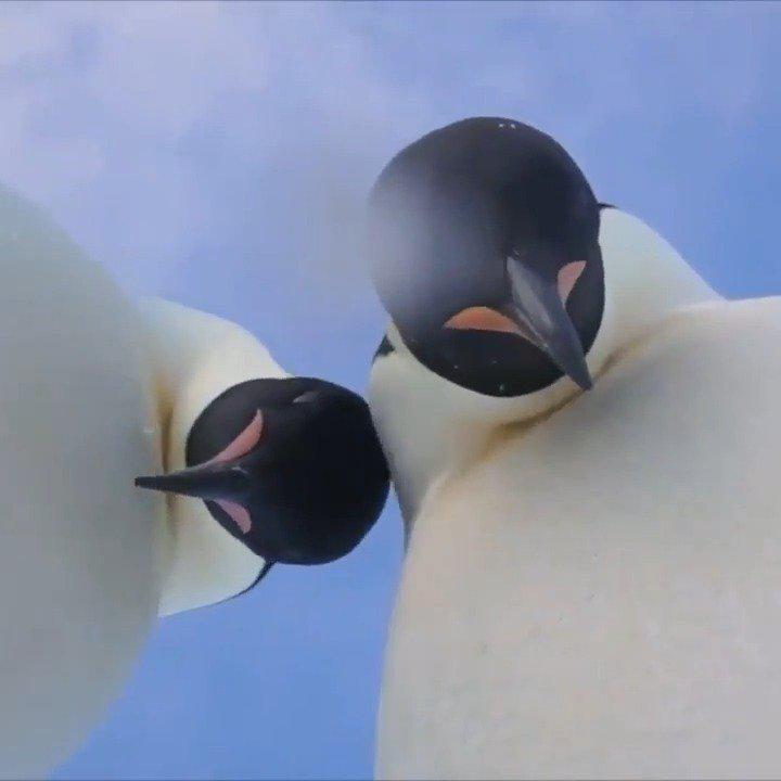 高科技相助,研究人员在南极发现11个帝企鹅新集群