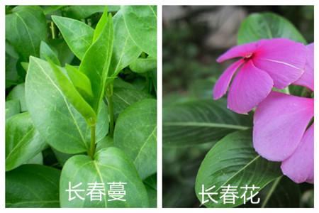 花卉植物长春蔓和长春花的区别