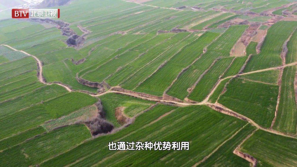 中国杂交小麦走出国门