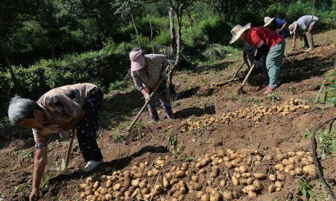 """打造乡村特色种植品牌 小土豆""""带富""""低收入户"""