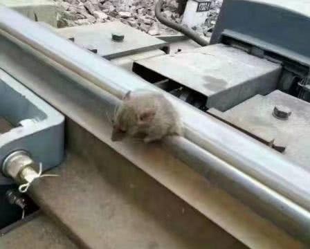 小伙看见一只老鼠趴铁轨上,见人都不跑,走进一看却感到意外