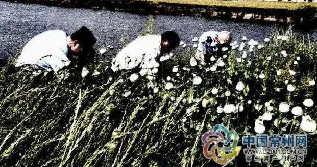 """这种""""毒花""""不能种!金坛一村民种植罂粟被判刑"""