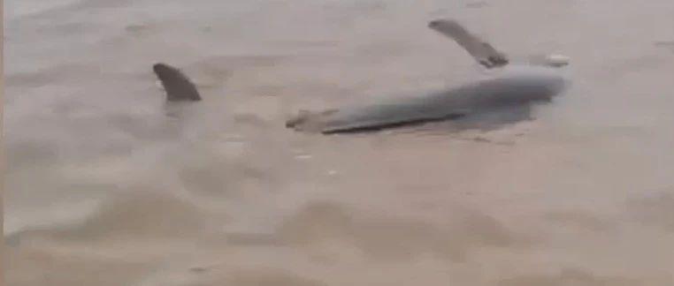 三条海豚,在盐城滩头搁浅!