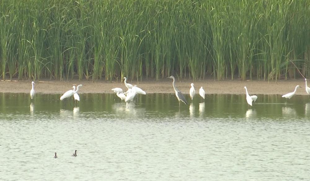 48秒丨白鹭蹁跹入画来 鹭鸟溯河而来落户黄河湿地