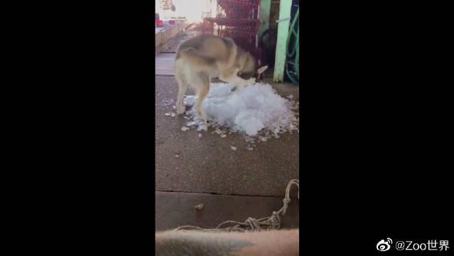 二哈看到冰块就忍不住上去躺着,不愧是西伯利亚雪橇犬
