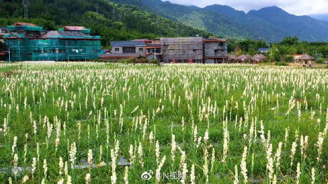 广州从化200亩晚香玉、茉莉花盛开……