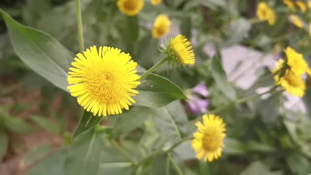 小区的绿地,小菊花淡然地开着,细腰蜂躲躲闪闪地凑近