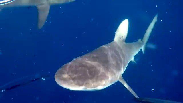 现实版《大白鲨》,人与鲨鱼的夺食之战,惊心动魄!