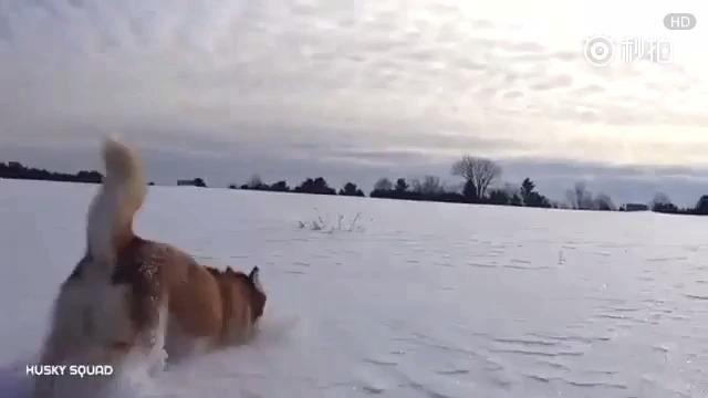 三只肥滚滚哈士奇的雪地日常。来啊!造作呀!