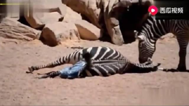 母斑马难产,还拼了命生下小斑马,公斑马的举动感动无数人!