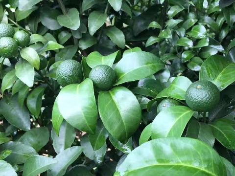 柑橘管理,把握这这两点,让你的柑橘产量和品质都上一个台阶!