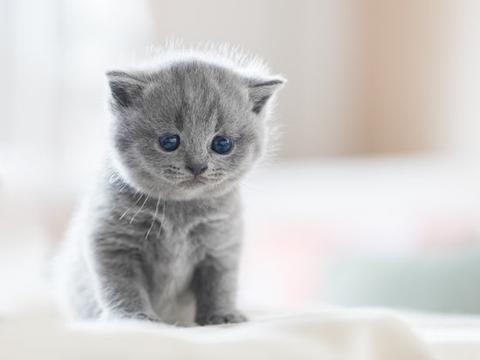 「绊运猫舍」夏天猫张嘴呼吸正常吗,猫像狗一样张嘴呼吸怎么回事