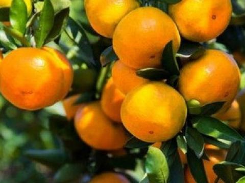 8月份柑橘如何管理上色好?知道这几点关键不会错!