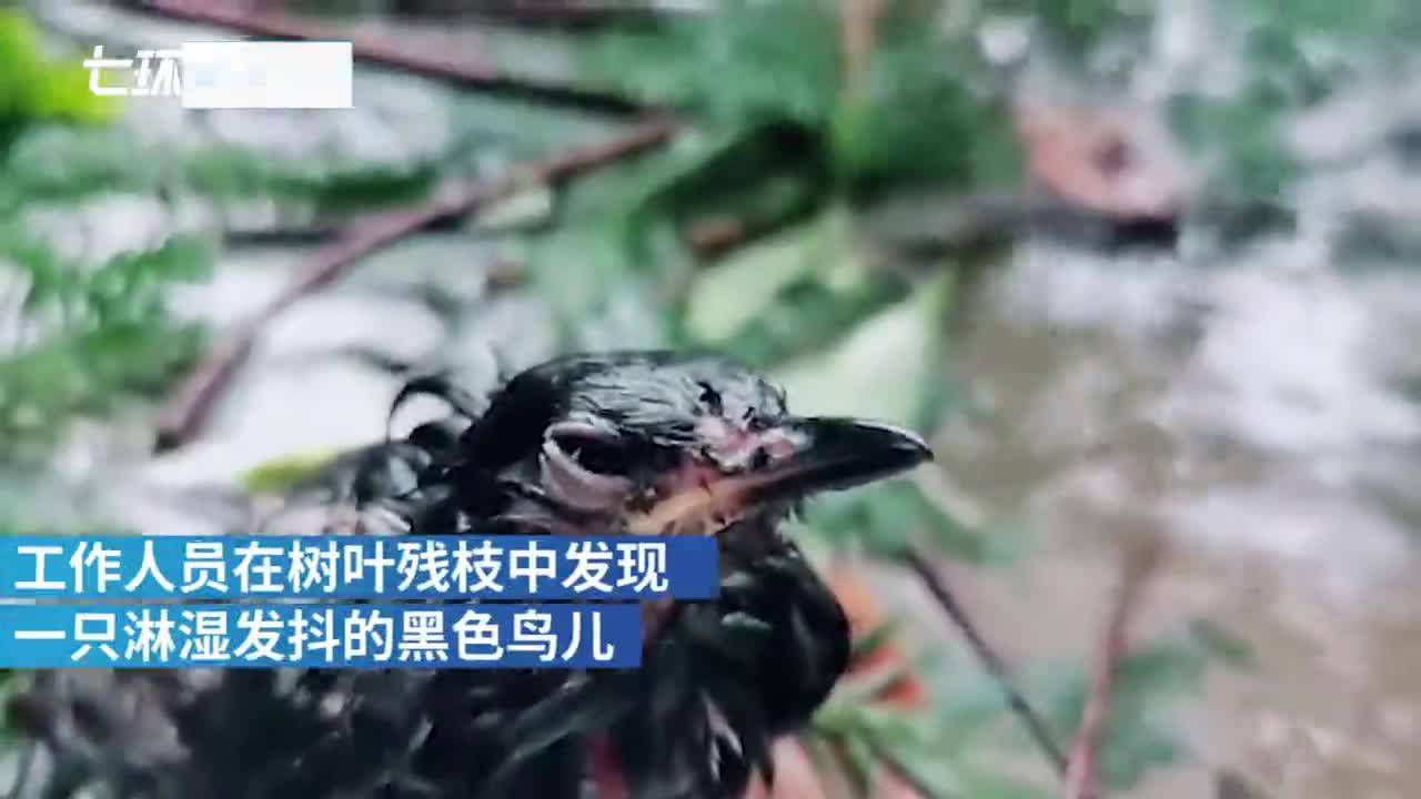 """泪目!台风""""黑格比""""过境,鸟妈妈风雨守候雏鸟"""