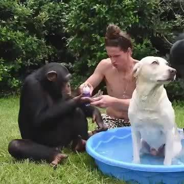 两只猩猩和铲屎官帮狗子搓澡,有了两个小帮手……