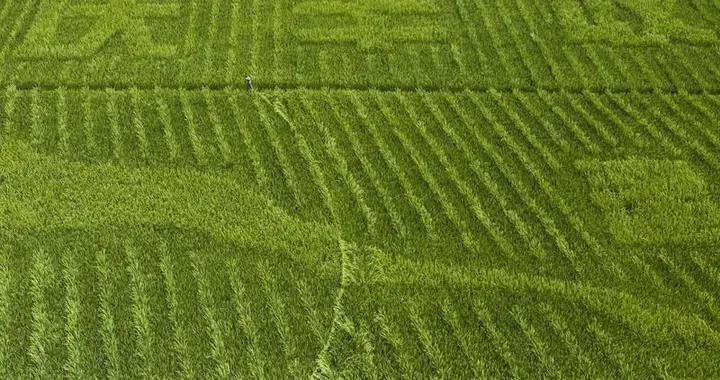 建宁:杂交水稻制种进入授粉期