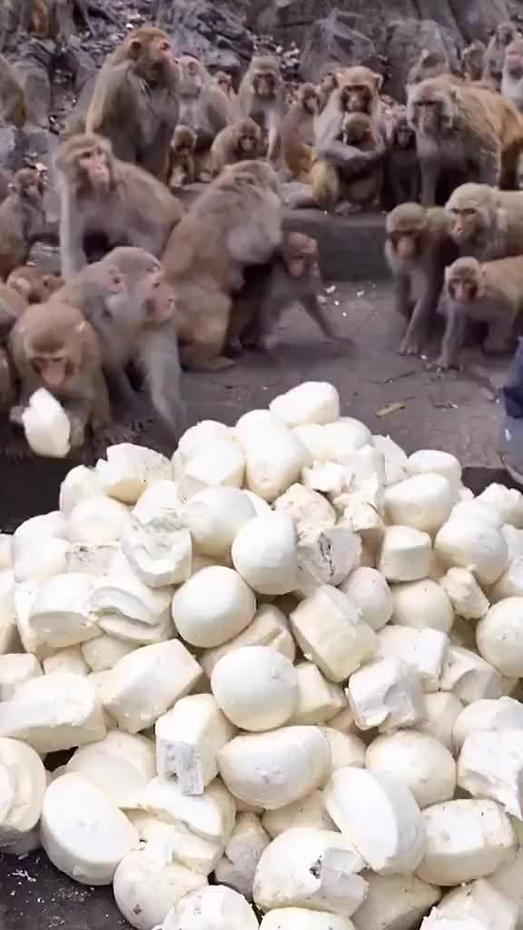 贵州省贵阳市黔灵山公园馒头宴,一个猴子拿一个馒头吃……
