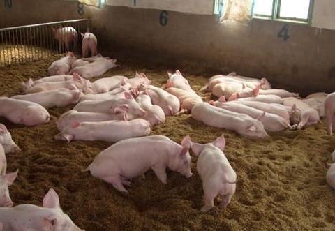 发酵床养猪比水泥地有哪些好处?省钱、省力、省心!