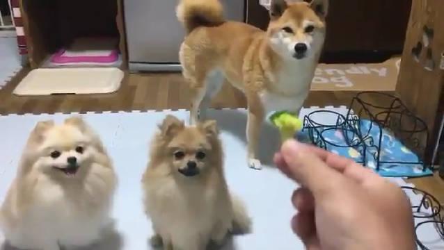 三只喜欢吃西兰花的狗子 twi:大西 慎太郎
