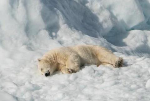 北极圈热到荒唐地步,温度堪比盛夏时节,北极熊80年后,恐灭绝