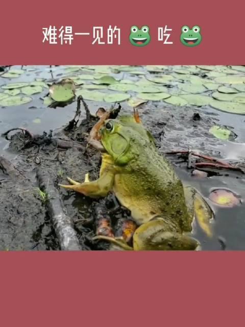 难得一见!青蛙🐸吃青蛙🐸 这就是大自然中残酷的生存法则!