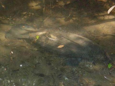 小伙在湖里游泳,突然发现一只奇怪动物,最后被小伙的胆量折服了