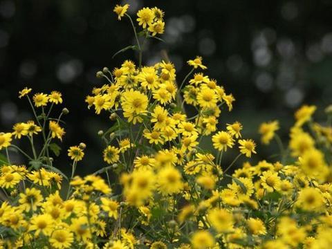 乡下路边的小黄花,看起来像像野草,却不知20元一斤