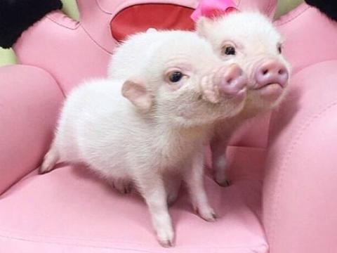 """再熬三天,生肖猪一辈子最大的贵人来找你了,8月中旬变""""金""""猪"""