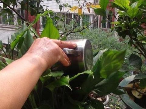 别再贸然用淘米水浇花了,注意5个事项,植株叶片不发黄、枯萎